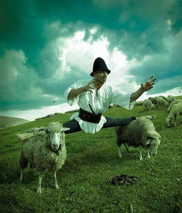 Doing splits on sheep