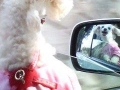 This dogs loves riding in the car