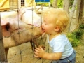 Kid kissing a pig