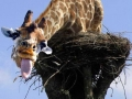 giraffe pretending to be stork