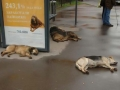 Passed out dogs