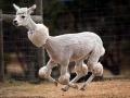 Lama Shaved